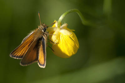 Butterfly And Buttercup  Poster