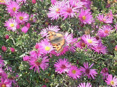 Butterfly And Pink Flowers Poster