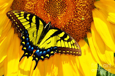 Butterfly And The Sunflower Poster