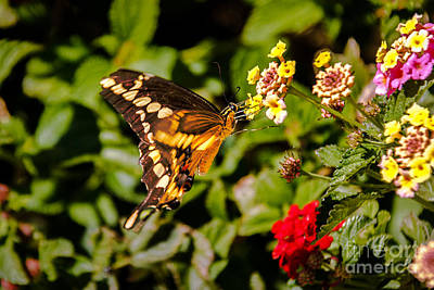 Butterfly Beauty Poster by Robert Bales