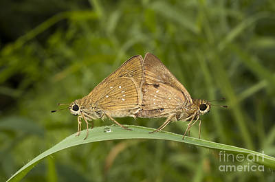 Butterfly Chestnut Bob Iambrix Salsala Mating Poster by Rudra Narayan  Mitra