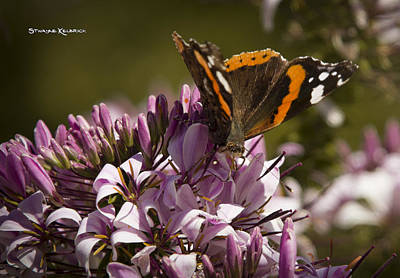 Poster featuring the photograph Butterfly Close Up by Stwayne Keubrick