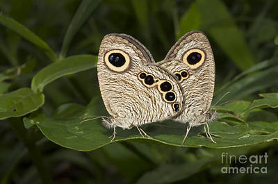 Butterfly Common Five Ring Ypthima Baldus Mating Poster by Rudra Narayan  Mitra