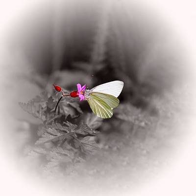 Butterfly On A Pink Flower Poster