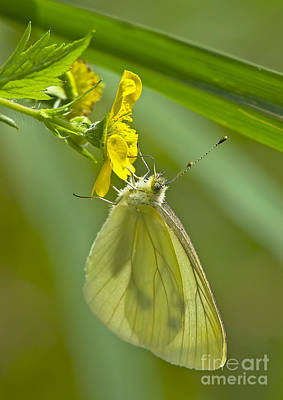 Butterfly On Buttercup Poster