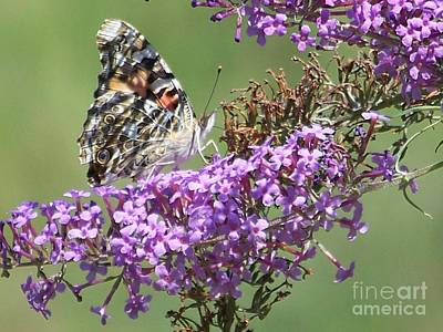 Poster featuring the photograph Painted Lady Butterfly by Eunice Miller
