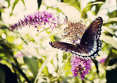 Butterfly On Butterfly Bush Poster