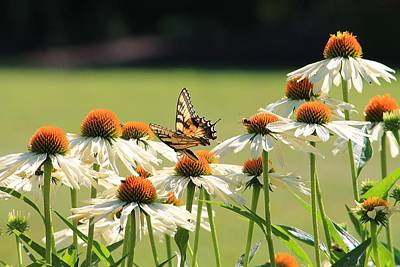 Butterfly On Echinacea Poster