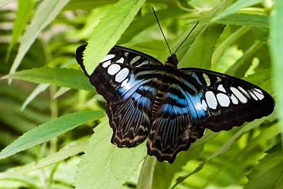 Poster featuring the photograph Butterfly On Leaf   by Lars Lentz