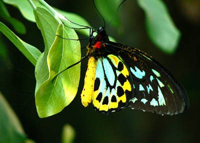 Butterfly On Leaf Poster