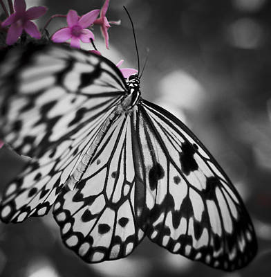 Butterfly On Pink Flowers Poster by Bradley R Youngberg