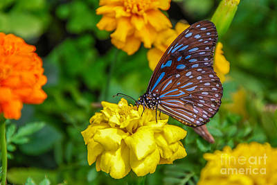 Butterfly On Yellow Marigold Poster