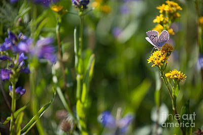 Butterfly On Yellow Wildflowers Poster by Cindy Singleton