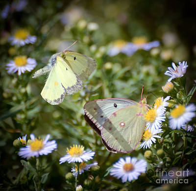 Poster featuring the photograph Butterfly Moments  by Kerri Farley