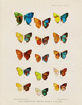Butterfly Plate Poster