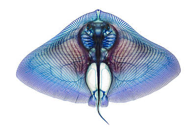 Butterfly Ray Poster by Adam Summers