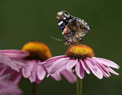 Poster featuring the photograph Butterfly Red Admiral On Echinacea by Peter v Quenter