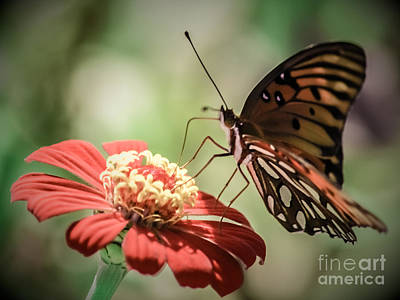 Butterfly Sipper Poster by Renee Barnes