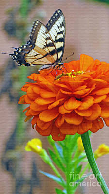 Butterfly With Colorful Zinnia Poster