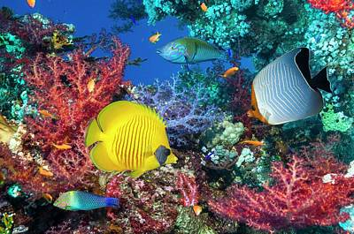 Butterflyfish And Wrasse On A Reef Poster by Georgette Douwma
