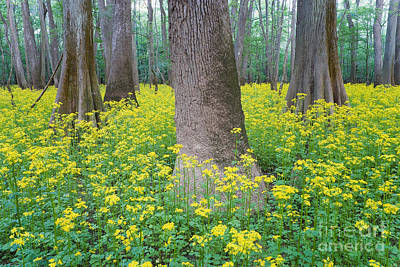 Butterweed Blooming In Congaree Poster