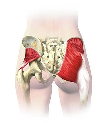 Buttock Muscles Poster by Henning Dalhoff