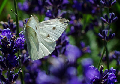 Cabbage Butterfly On Blue Flowers Poster