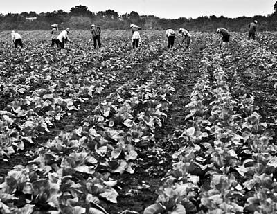 Poster featuring the photograph Cabbage Farming by Ricky L Jones