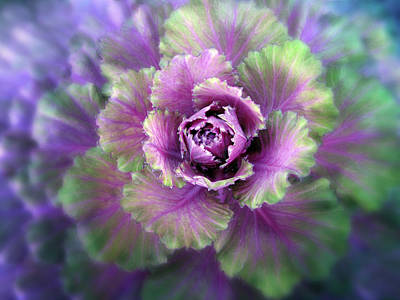Cabbage Flower Poster by Jessica Jenney