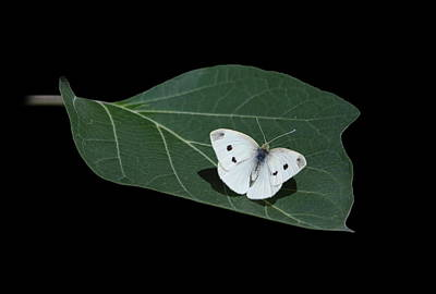 Cabbage White Butterfly Poster by Angie Vogel