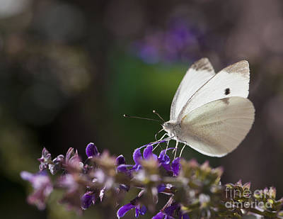 Cabbage White Butterfly Macro On Flowers Poster