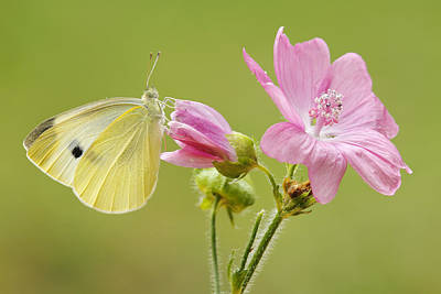 Cabbage White Butterfly On Flower Poster by Silvia Reiche