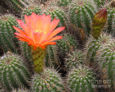 Poster featuring the photograph Cactus Flower by Cheryl Del Toro