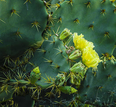 Cactus Flower Poster by Jean Noren