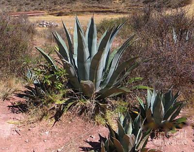 Cactus In Peru Poster