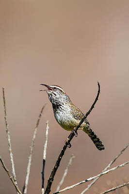 Cactus Wren (campylorhynchus Poster by Larry Ditto