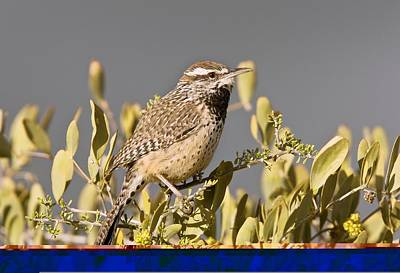 Cactus Wren On A Jojoba Bush Poster by Science Photo Library