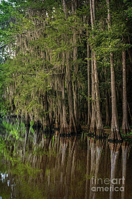 Caddo Lake Cypress Family II Poster by Tamyra Ayles