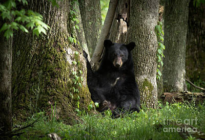Cades Cove Bear Poster by Douglas Stucky