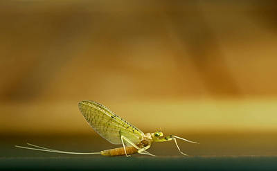 Cahill Mayfly Poster