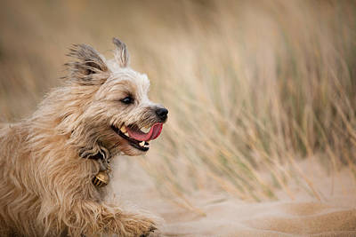 Cairn Terrier In Sand Dunes Poster by Izzy Standbridge