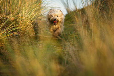 Cairn Terrier In The Dunes Poster by Izzy Standbridge