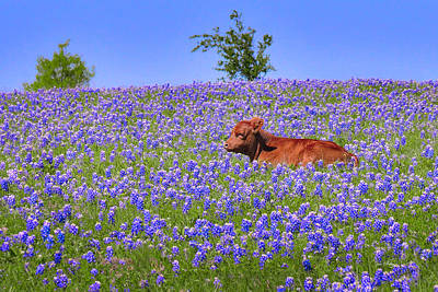 Poster featuring the photograph Calf Nestled In Bluebonnets - Texas Wildflowers Landscape Cow by Jon Holiday