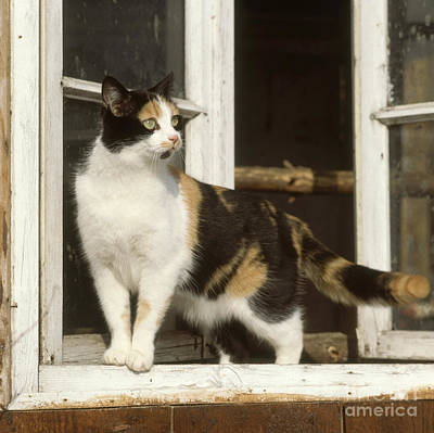 Calico Cat Poster by Hans Reinhard