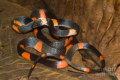 Calico Snake Poster by William H. Mullins