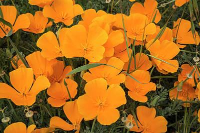 California Poppies In Montana De Oro Poster