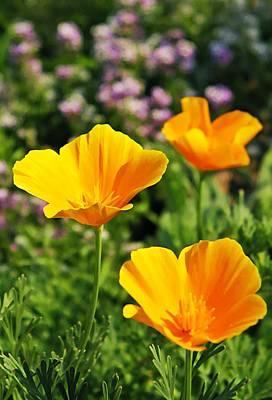 California Poppies In October Poster