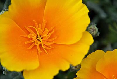 California Poppy In Spring Poster