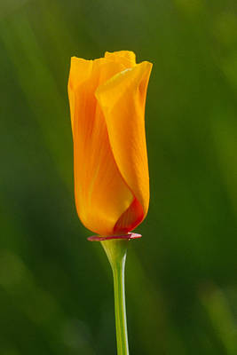 California Poppy Poster by Judi Baker