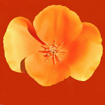 California Poppy Painting Poster